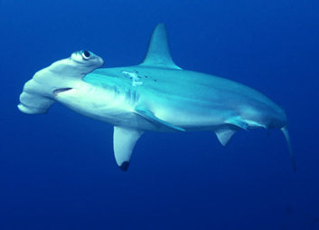 taxonomy hammerhead shark